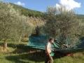 raccolta-olive1-300x224