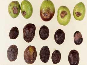 patologie-olivi