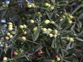 varietà-olivi