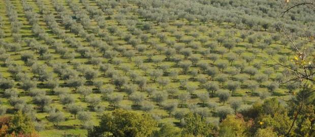 oliveto-620x270