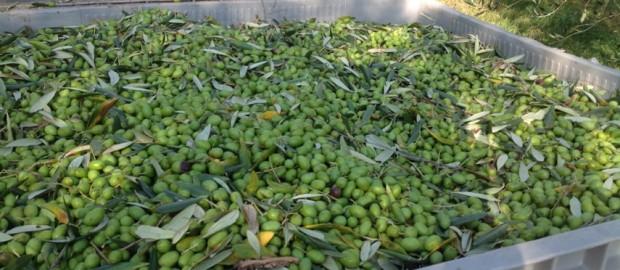 raccolta-olive2-620x270