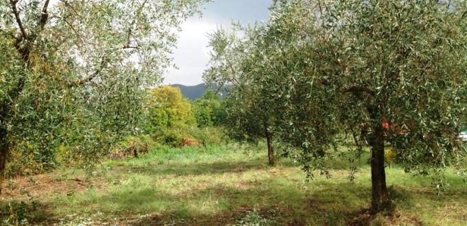 olivi-canale raccolta anticipata